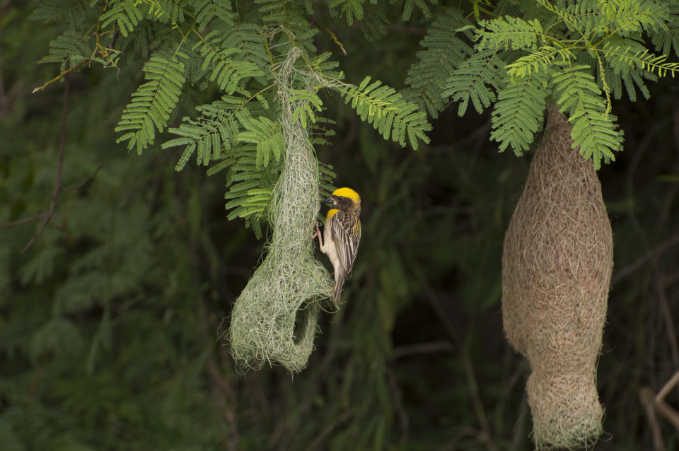 Baya Weaver birds at work