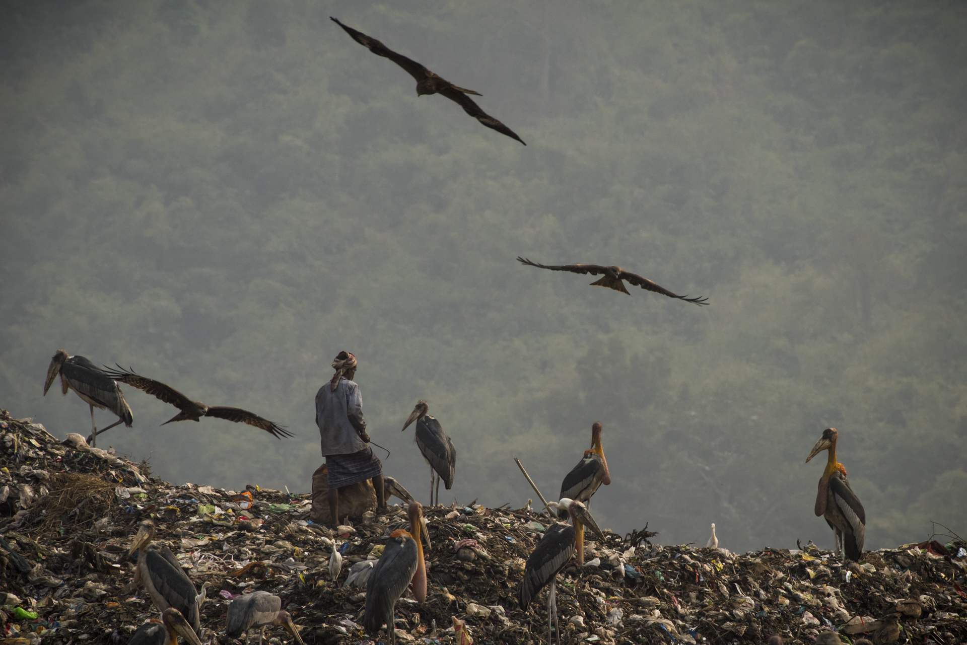 Humans, Greater Adjutant Storks and Black Kites at a garbage dump in Guwahati