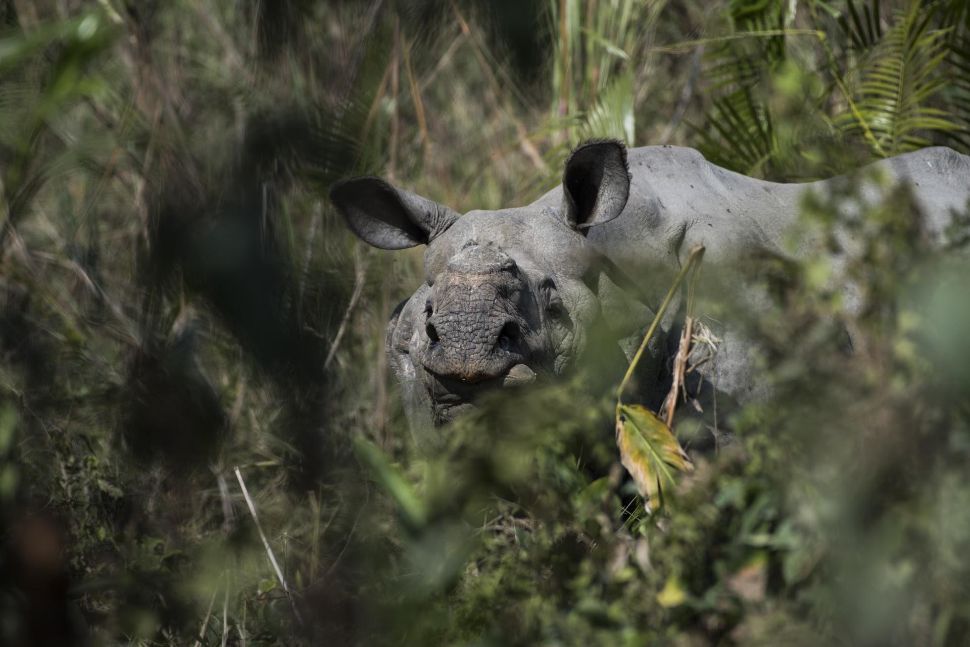 Rhino nose
