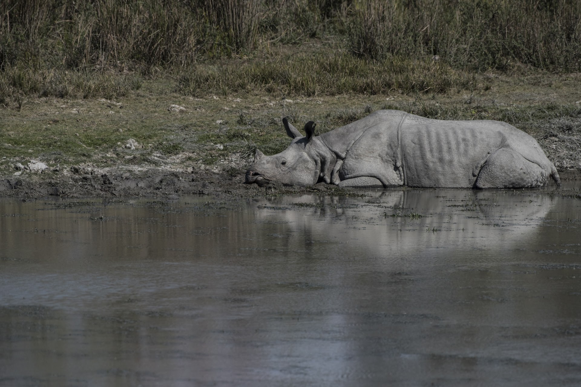 Rhino in the water - Kaziranga