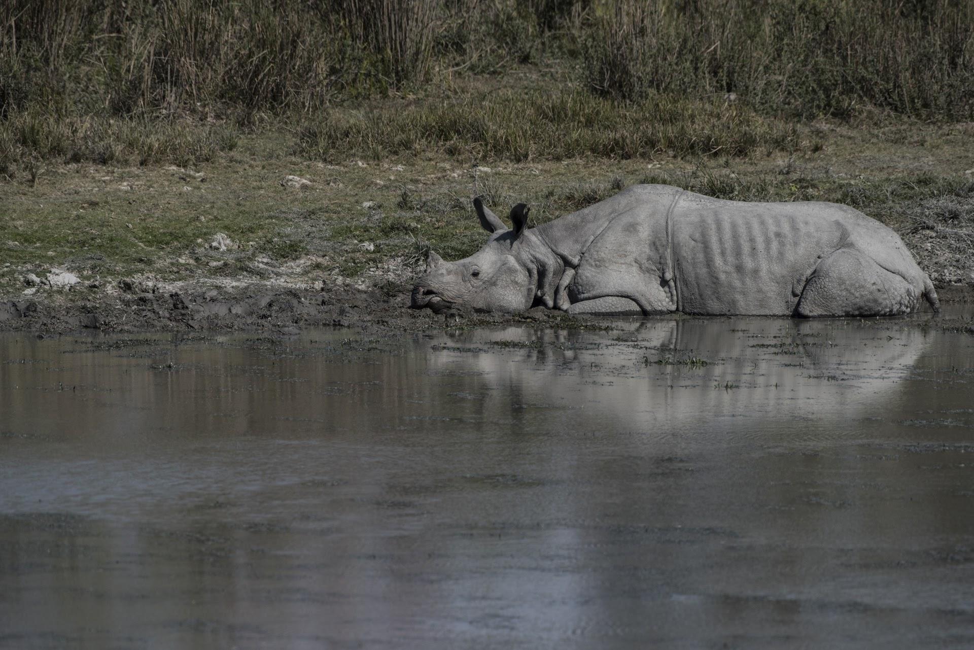 Rhino in the water - Kaziranga